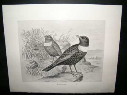 Frohawk 1898 Antique Bird Print. Ring-Ouzel | Albion Prints